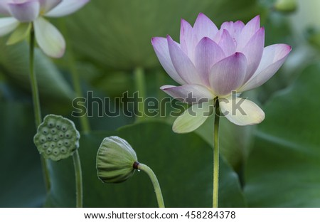 Lotus Flower and Seed Pods - stock photo