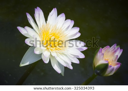 Lotus flower as abstract style