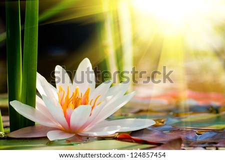 lotus flower background - stock photo