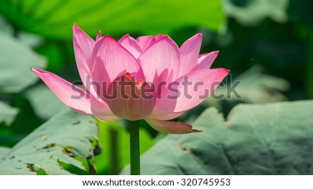Lotus flower background lotus symbol vietnamese stock photo royalty lotus flower background lotus is symbol for vietnamese mightylinksfo
