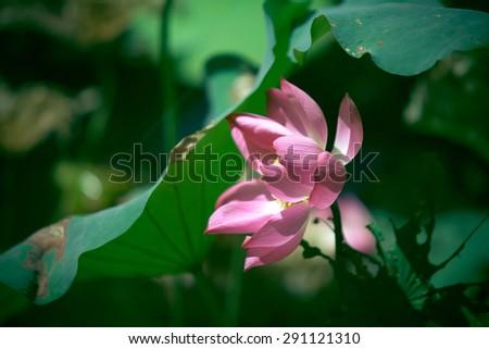 Lotus flower - beautiful flower is growing in popularity in Vietnam - stock photo