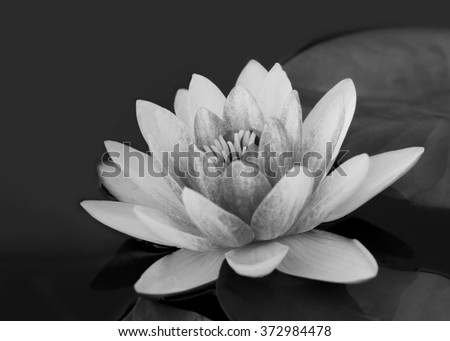 lotus flower, black and white - stock photo