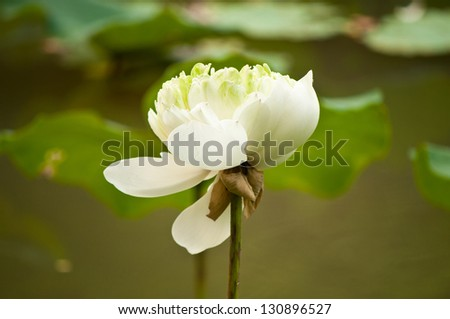Lotus flower bloom in the park