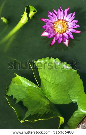 Lotus flower blooming in pond - stock photo