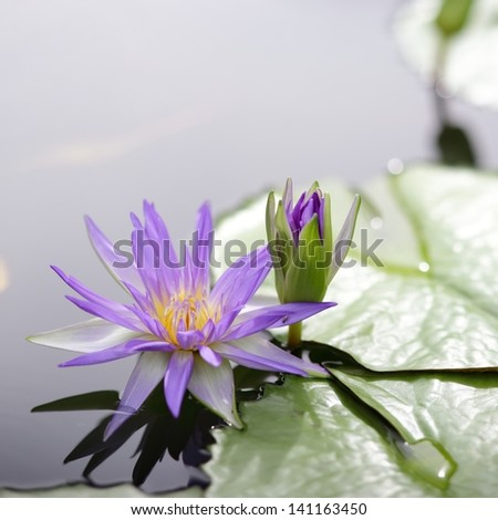 Lotus flower blooming in the pond - stock photo