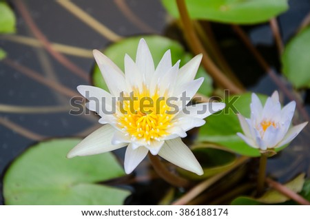 lotus flower ,blooming in the pond.white water lily on the lake (Nymphaea alba). Beautiful waterlily or lotus flower blooming in the pond.Beautiful waterlily or lotus flower in pond. - stock photo