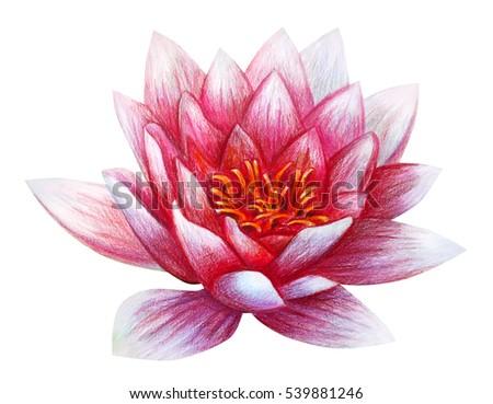 Lotus flower drawing nelumbo stock illustration 539881246 shutterstock lotus flower drawing nelumbo mightylinksfo