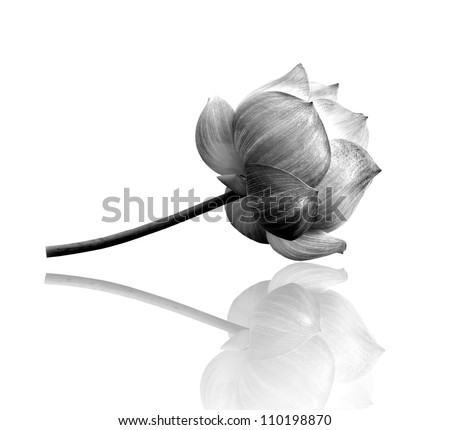 Lotus flower in black and white - stock photo