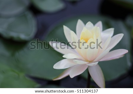Lotus flower in close up