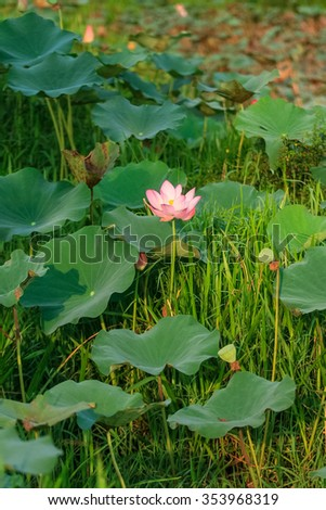 Lotus flower natural habitat stock photo edit now shutterstock lotus flower in its natural habitat mightylinksfo