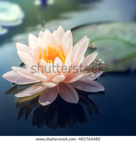 Lotus flower in pond,vintage tone colour