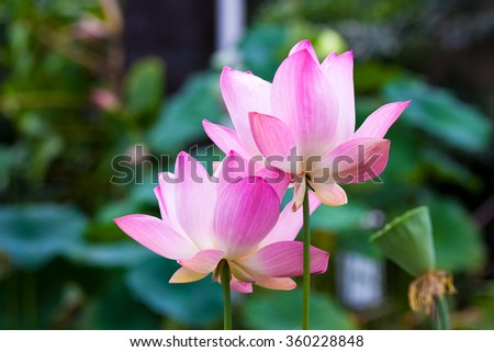 Lotus flower in the green pond - stock photo