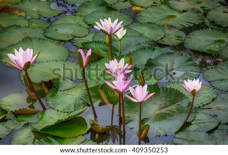 lotus flower in the lake