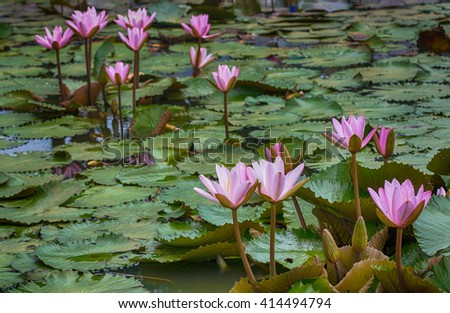 lotus flower in the lake,Thailand - stock photo
