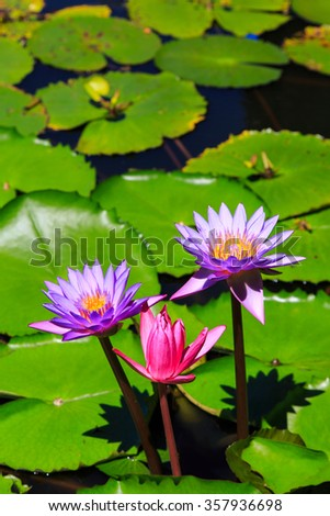 Lotus flower in the water - stock photo