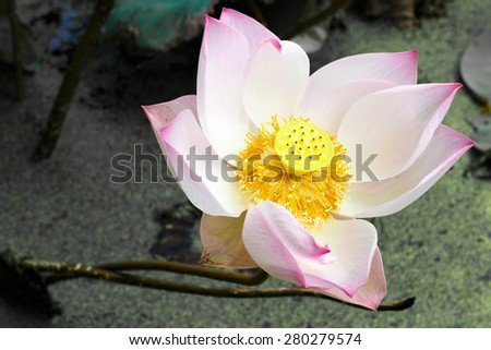 lotus flower is blooming, lily water ,photo stock - stock photo