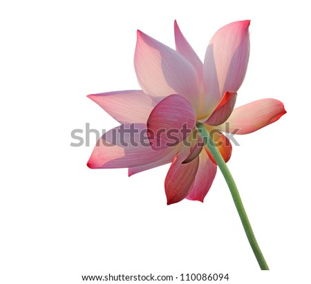 Lotus flower isolated on white - stock photo