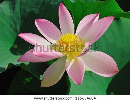 Lotus flower (Nelumbo) - The Rose of India - stock photo