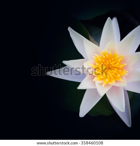 Lotus flower on black background - stock photo