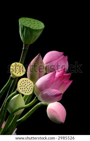 lotus flower on the black background