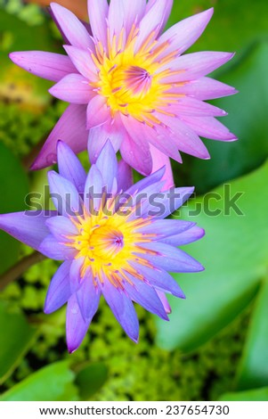 Lotus flower on the water - stock photo