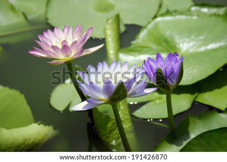 Lotus flower or Waterlily in the pond