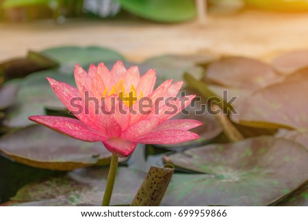 Lotus flower rare flower ancient flower stock photo royalty free lotus flower rare flower ancient flower symbol of purity symbol of buddhism mightylinksfo