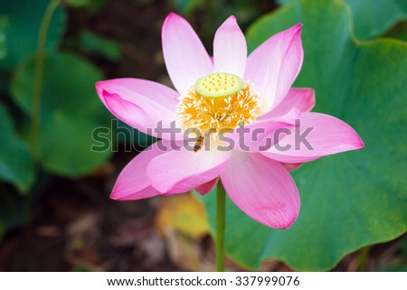Lotus flower rare flower bee on stock photo royalty free 337999076 lotus flower rare flower bee on a flower ancient flower symbol of mightylinksfo Choice Image
