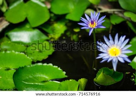 Lotus flower represent peace wisdom stock photo royalty free lotus flower represent of peace and wisdom mightylinksfo