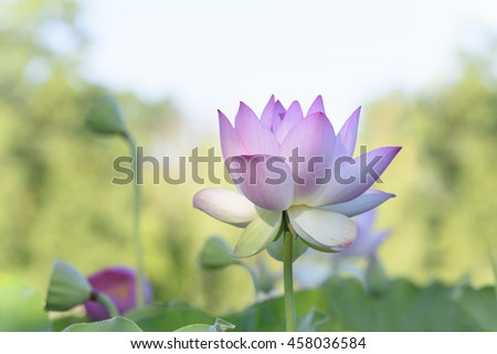 Lotus Flower with Brightly Lit Background - stock photo