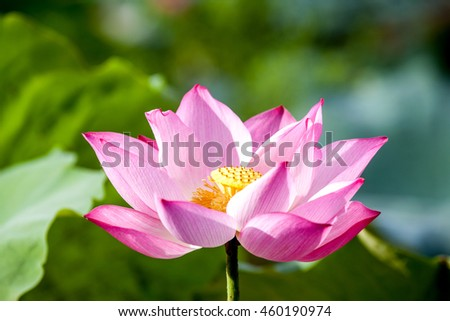 lotus flower with vintage clolor