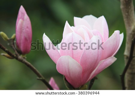 Lotus-flowered Magnolia,beautiful purple with white flowers and buds blooming in the countryside in spring,closeup,Southern Magnolia,Loblolly Magnolia,Large-flowered Magnolia - stock photo