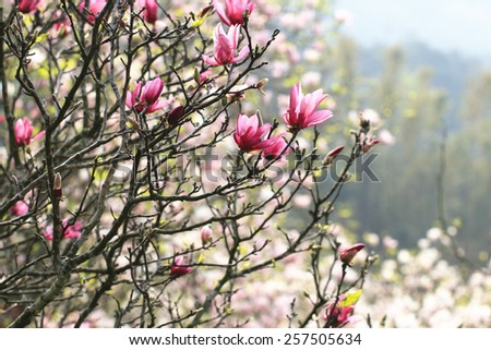 Lotus-flowered Magnolia,Large-flowered Magnolia,many beautiful red flowers and buds blooming in the countryside,Southern Magnolia,Loblolly Magnolia  - stock photo