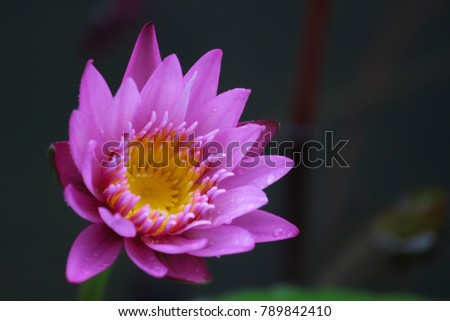 Lotus flowers my backyard pond red stock photo royalty free lotus flowers from my backyard pond red and blue lotus represents shiva and parvati in mightylinksfo