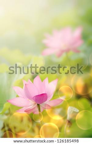 Lotus flowers in garden under sunlight. - stock photo