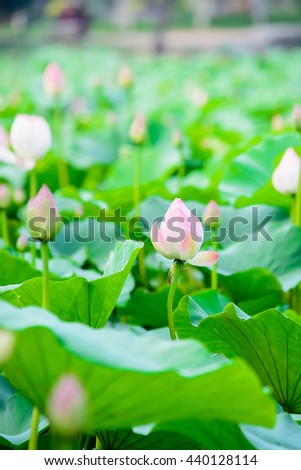 Lotus flowers in pond,lotus flower garden,natural concept.natural background concept;selective focus with blur foreground and background.