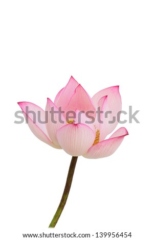 Lotus flowers on a white background.