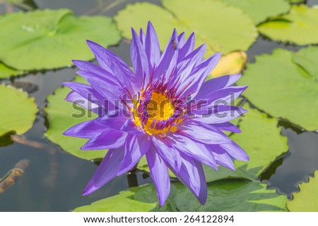 Lotus, fresh color, with yellow stamens of the lotus flower - stock photo