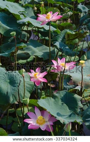 lotus garden in Mekong delta - stock photo