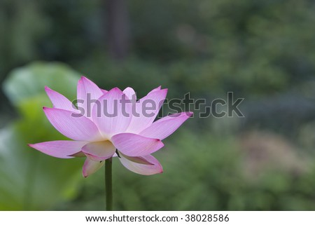 Lotus, Hong Kong