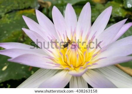 Lotus in Purple and One bee on pollen - stock photo