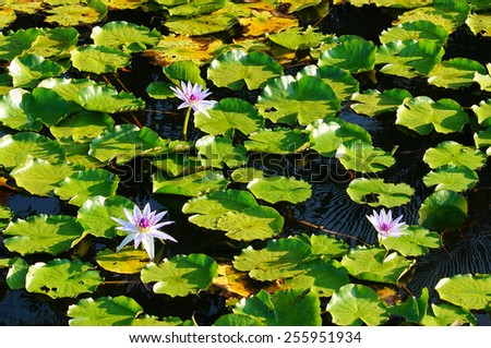 Lotus in the lake at sunset - stock photo