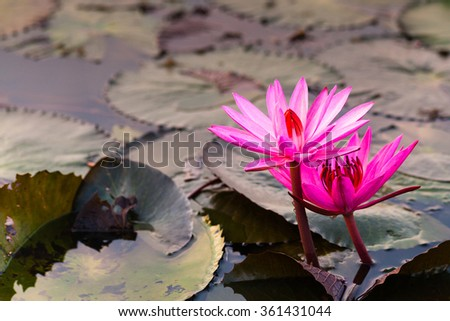 Lotus in the lake. Many lotus flowers in the lake is in full bloom. - stock photo