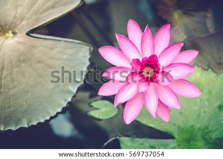 pink lotus flower stock images, royaltyfree images  vectors, Beautiful flower
