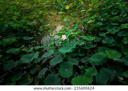 lotus in the water - stock photo