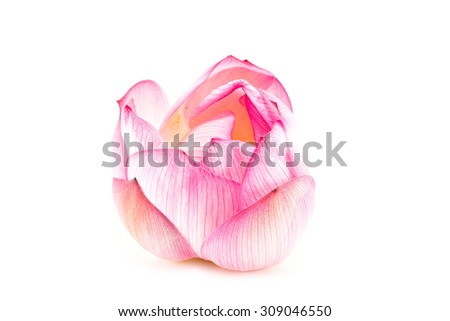 lotus is blooming on isolated background
