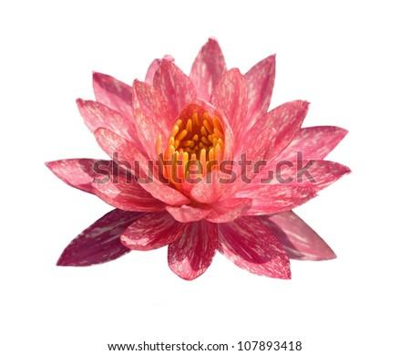 Lotus isolate on the white background - stock photo
