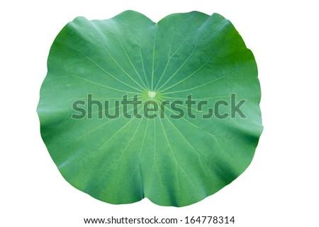 Lotus leaf. isolate on white background. - stock photo