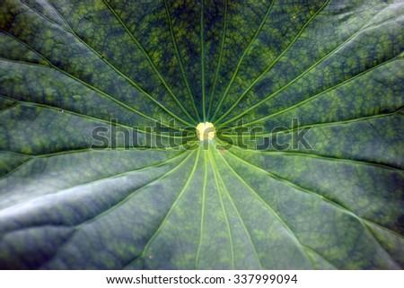 Lotus leaf, Valley of lotuses, Lotus flower, rare flower, ancient flower, symbol of purity, symbol of Buddhism, Lotus pink, Oriental Lotus flowers - stock photo