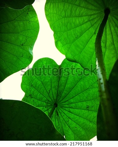 Lotus leaf view from below  - stock photo